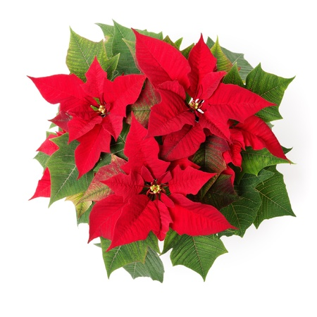 traditional plants:  Red symbol of Christmas. Poinsettia flower isolated over white.