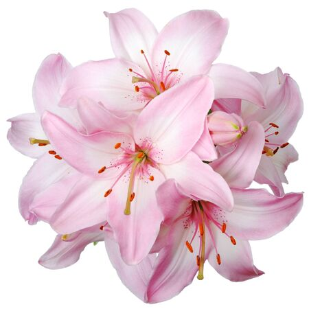 blooming. purple: Bouquet of fresh pink lilies isolated on white