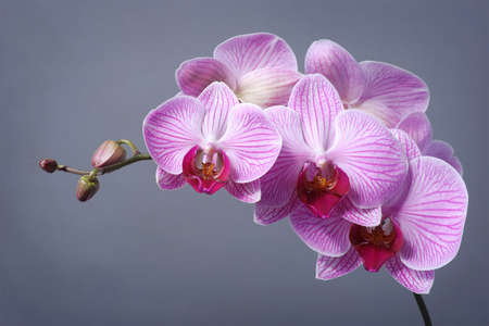Orchid on grey background photo