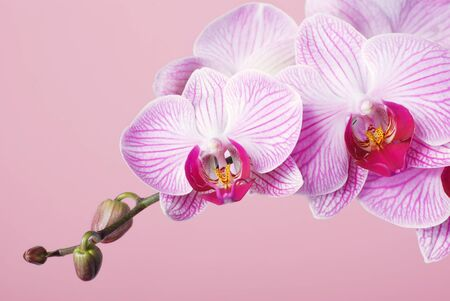 Orchid - phalaenopsis on pink background. Stock Photo