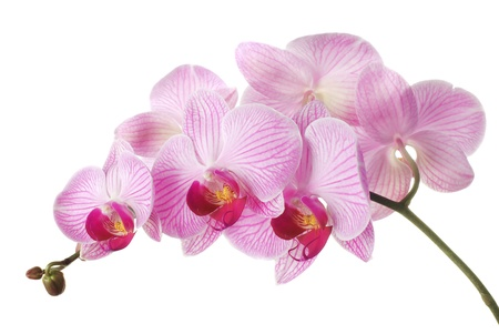 Pink orchid - phalaenopsis on white background. Isolated photo