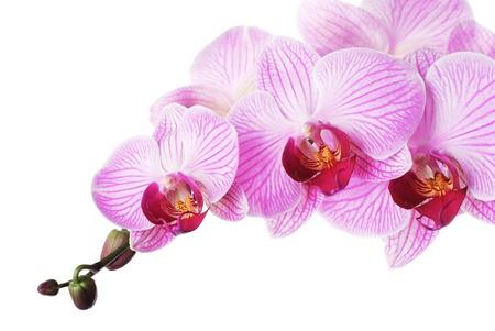 분홍색 난초 - 흰색 배경에 phalaenopsis입니다. 외딴