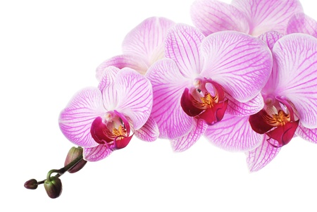 purple orchid: Pink orchid - phalaenopsis on white background. Isolated
