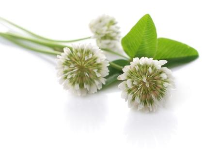 Boombloemen van Witte klaver. Over wit wordt geïsoleerd