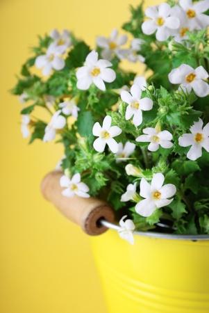 노란색 배경에 Bacopa (수트라) 꽃의 무리