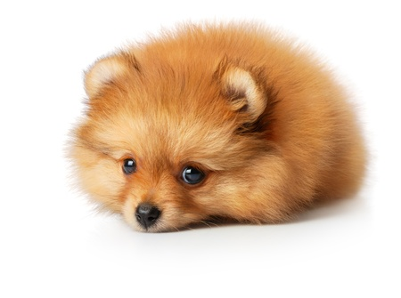 Sad spitz puppy photo