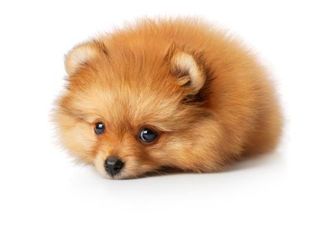 pomeranian: Sad spitz puppy