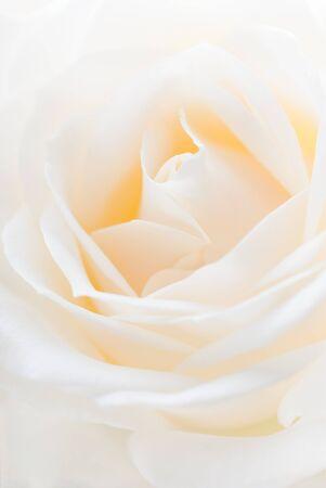Close-up der weißen Rose Shallow depth of field Standard-Bild - 17144793