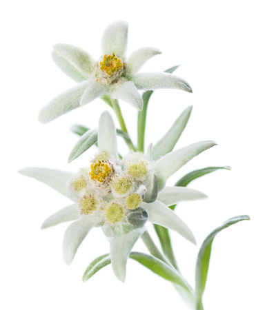 Two Edelweiss flowers (Leontopodium alpinum) isolated over white Фото со стока