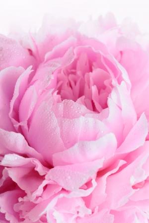 분홍색 모란의 근접 촬영 Sarah Bernhardt