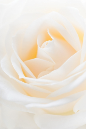 Close-up of  white rose. Shallow depth of field.