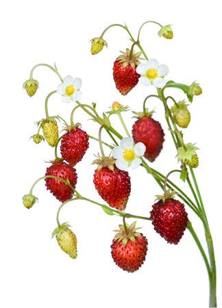 strawberry plant: Wild strawberry twig isolated on white