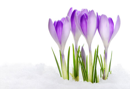 Blühende Krokusse Vanuguard isoliert auf weißem Hintergrund