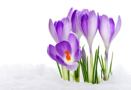 thawing: Purple Crocuses Vanguard, flowering amid thawing snow