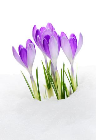 Purple Crocuses Vanguard, flowering amid thawing snow