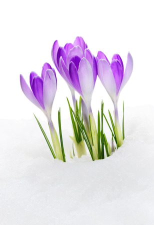 Purple Crocuses Vanguard, flowering amid thawing snow