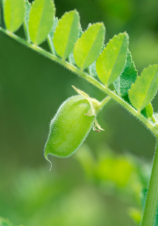 Green chickpea pod close up. photo