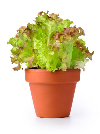 Lettuce in a pot isolated on a white background