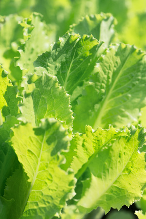 Close-up of fresh organic lettuce growing in the garden