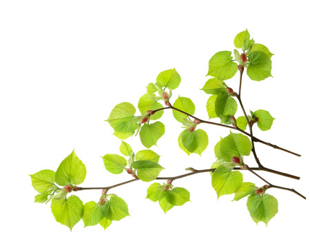 Branch of linden tree with green leaves isolated over white