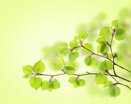 Three branches and fresh green leaves  on the light-green background