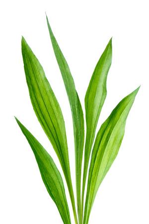 Ribwort  Plantago lanceolata  photo