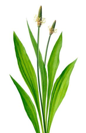 plantain: Ribwort  Plantago lanceolata