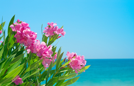 sea flowers: Oleander flowers at the beach. Blue sky and mediterranian sea. Stock Photo