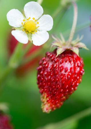 Ripe wild strawberry and flower on green background. Selective focus.