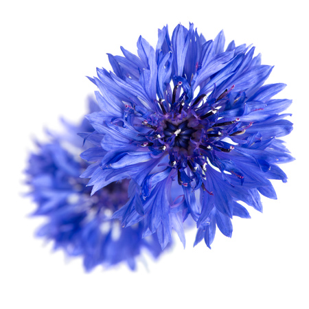 cornflowers: Two cornflowers close-up isolated over white background.