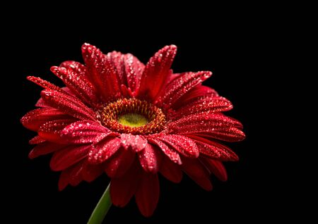 Red gerbera with water drops isolated on black background