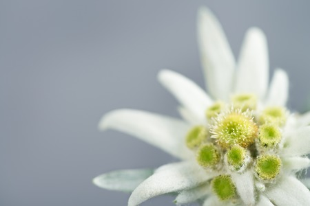 Edelweiss on gray background Фото со стока