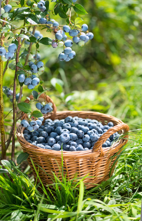 Ripe Bilberries in wicker basket. Green grass and blueberry bush