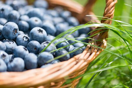Freshly picked blueberries in rustic basket close up. Green gras