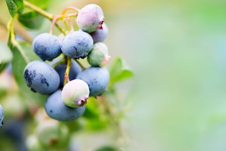 Blueberry twig. Harvesting and gardening  concept. Composition w