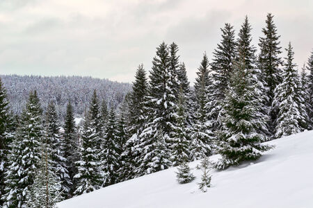 Far winter forest photo