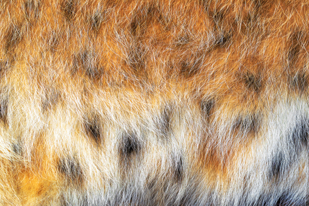 spotted fur: Texture spotted wild animal fur . Wild forest lynx . Stock Photo