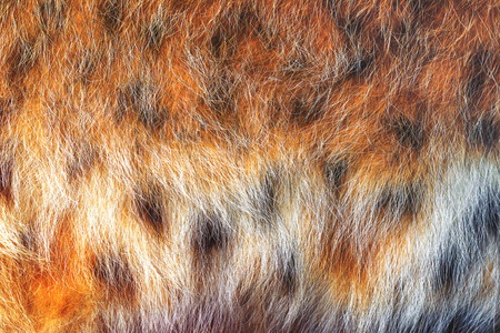 spotted fur: Texture spotted wild animal fur . Wild forest lynx . Image with toning Stock Photo