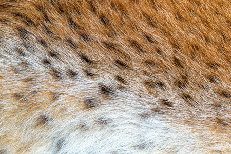 spotted fur: Texture spotted wild animal fur . Wild forest lynx