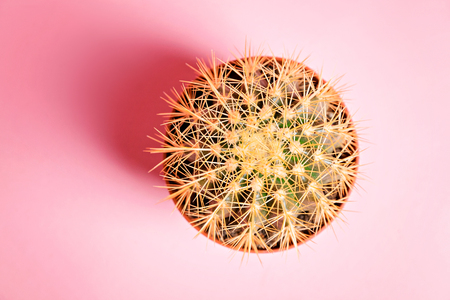 Cactus in a pot on a pink background. Top view
