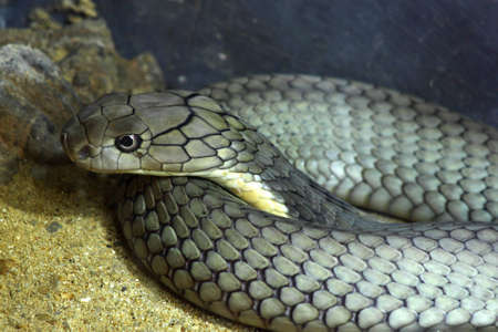 King Cobra Snake photo