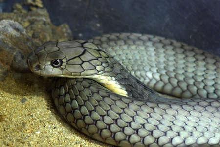 king cobra: King Cobra Snake