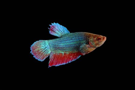 siamese fighting fish ,Thai fighting fish isolated on black background Stock Photo - 18735641