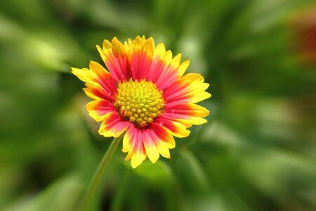 raggio: un bel fiore e il raggio di fondo in giardino