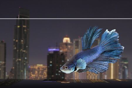 a beautiful siamese betta with night city background photo