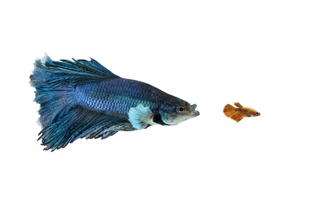 big and small siamese betta, fighting fish Stock Photo - 20477121