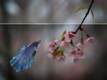 half moon siamese betta with sakura flower background photo