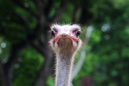 the beautiful ostrich head from african savanna photo