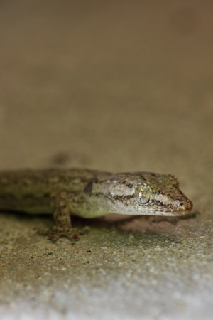 closeup lizard on the wall at home photo