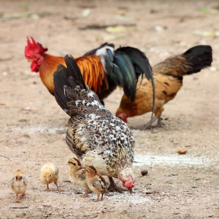 hen,  family, chicken,  chick from countryside photo